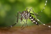 Tiger Misquito