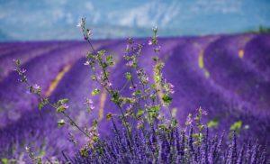 Lavendel auf einem Feld